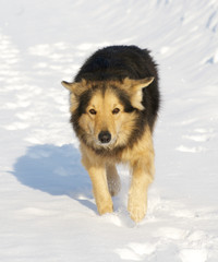 Collie mixed breed