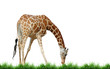 giraffe with grass isolated