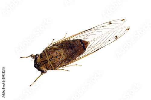 Cicada, cicadidae, Australian species, wingspan 60mm