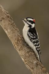 Downy Woodpecker (Picoides pubescens) - Ontario, Canada