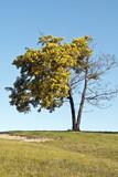 Proutí strom umírá