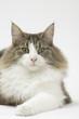 regard hypnotique du chat