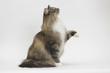 chat de profil levant la patte pour dire bonjour