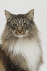 portrait du skogkatt