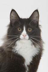 portrait d'un skogkatte aux belles oreilles