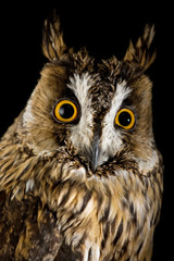 owl isolated on the black background