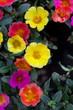 Detaily fotografie Portulaca Květiny