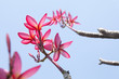 Plumeria flowers with blue sky