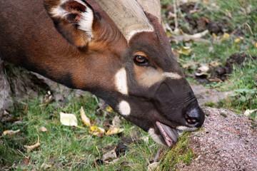 Bongo antelope eating close up