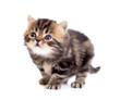 tabby british little kitten looking up isolated