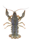row green crayfish on a white