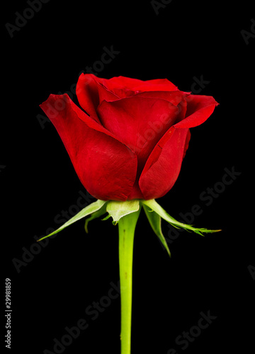 Side view of rose
