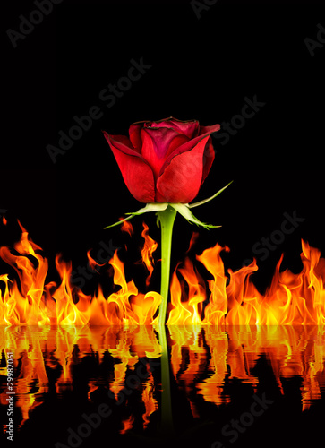 rose and fire