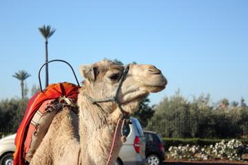 Cammelli al pascolo - Marocco