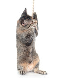 Kitten pulling on rope