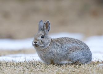 Mountain Cottontail Rabbit