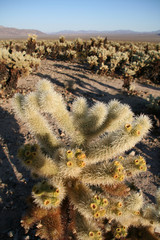 Cholla Cactus, Joshua Tree National Park, California