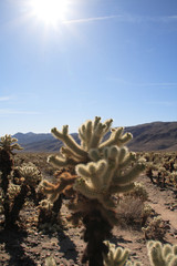 Cholla Cacti, Joshua Tree National Park, California