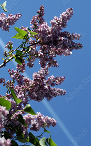 Purple lilac twigs