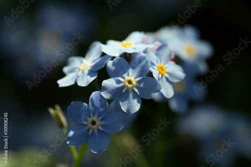 A small twig of forget-me-not flowers