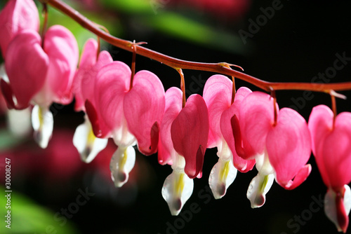 """Bleeding heart"" flower"