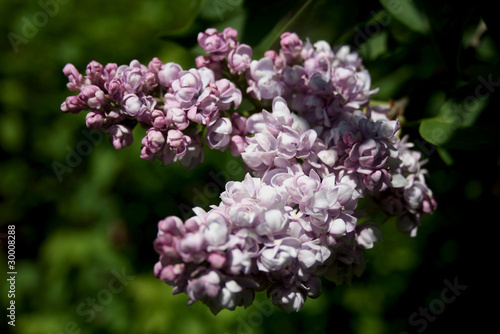 a small twig of lilac