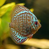 Fototapety Roi de l'aquarium