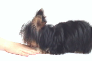 Yorkshire terrier puppy on white background, two months