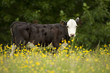 portrait of cow in paddock of yellow flowers