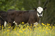 portrait of cow looking at camera