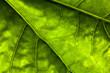 background of dark green leaf