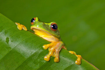 Cute colorful frog peeking over a leaf