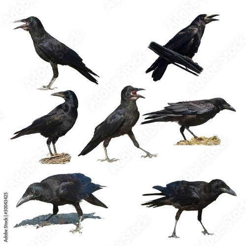 Rook isolated on a white background Corvus frugilegus