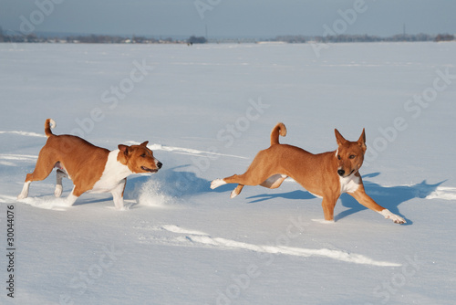 Two funny basenjis playing in a snow
