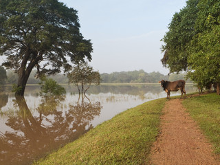 cow with flood water