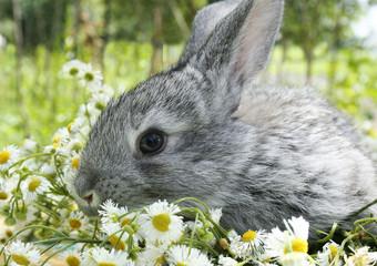 grey rabbit in a meadow