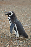 Magellanic penguin with a stone in its beak poster