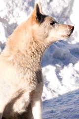 Schlittenhund 634
