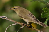 Common Chiffchaff perched , phylloscopus collybita