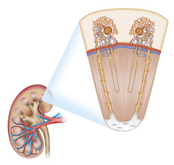 sección del riñón