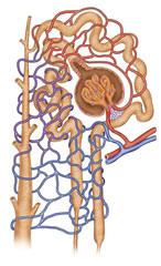 esquema estructural de un nefrón