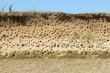 Colony of swallows, Active Sand Martin breeding colony