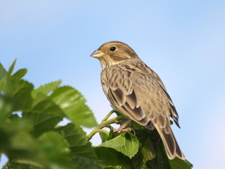 Close up Corn Bunting miliaria calandra