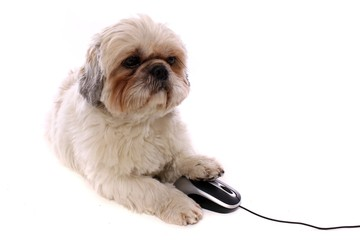 liegender Hund Shih Tzu & PC Maus