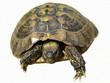 turtle isolated on white background testudo hermanni