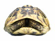 Herman's Tortoise turtle isolated on white background