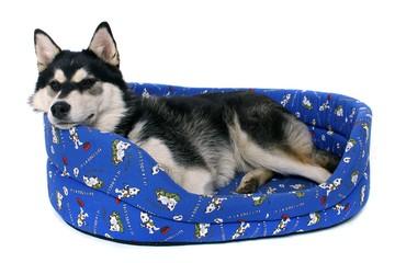 junger Hund Husky liegend im Hundebett