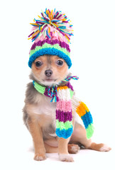Chihuahua Puppy Dressed With Hat and Scarf For Cold Weather