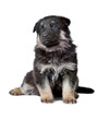 shepherd`s dog black puppy isolated on white background