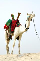 Nomad camel standing in the desert